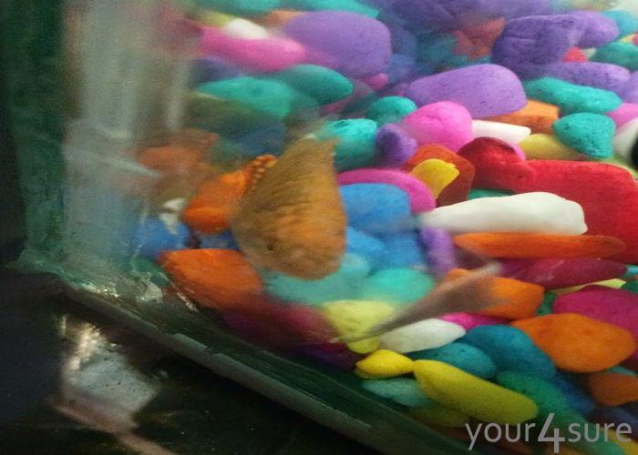Pet fishes in an aquarium